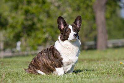 Giới thiệu về giống chó Corgi