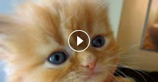 Cute Kitten meows for love and falls asleep