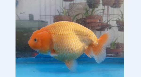 Jenis Ikan Mas Koki Ranchu