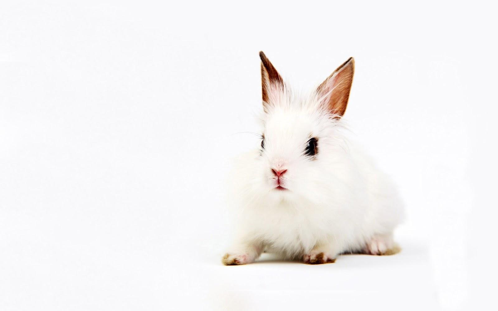 Cute White Rabbit Wallpapers For Desktop: All About Animal Wildlife: Cute White Rabbit HD Wallpapers