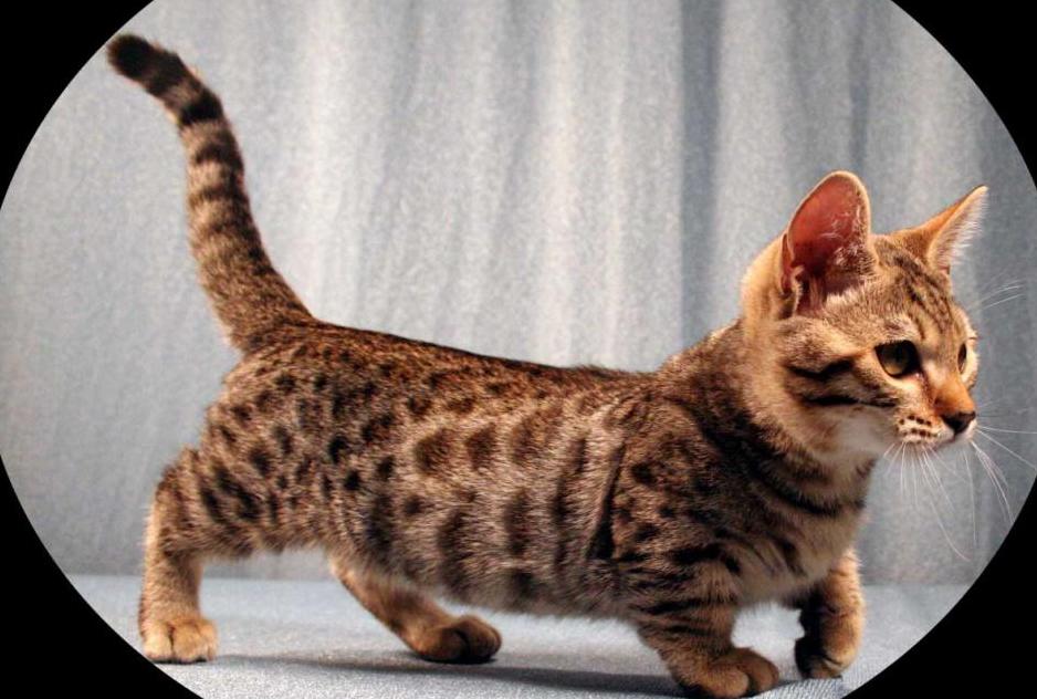 15 Jenis Ras Kucing Peliharaan Unik Dengan Ciri Cirinya