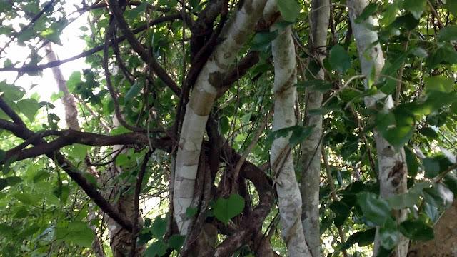 herbal kayu ular