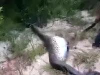 Temukan Anaconda Berperut Besar, Saat Dibelah Isinya Mengejutkan