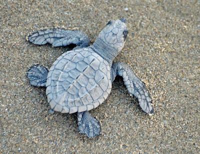 Blue baby turtles - photo#48