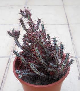 planta suculenta Euphorbia aeruginosa