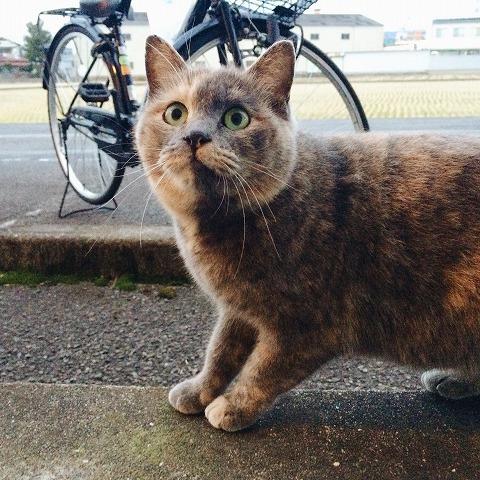 もふもふの冬毛でタヌキみたいな見た目だったサビ猫