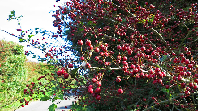 Branch of bright red haws (hawthorn berries) on a branch by path