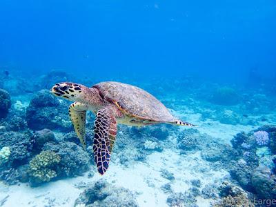 Tortue - snorkeling - Gili Meno