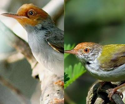 Tips Dan Cara Perawatan Burung Prenjak Bahan Muda Hutan Yang Baik Dan Benar Paling Lengkap