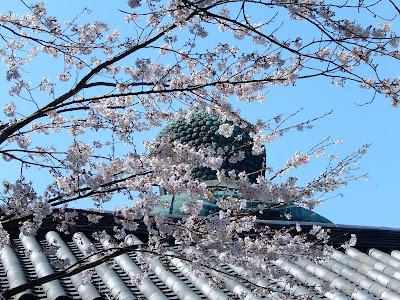 鎌倉大仏の桜