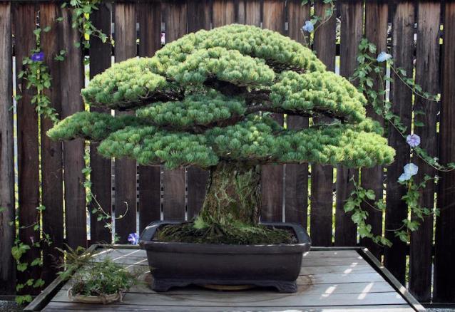 Bonsai de 391 años