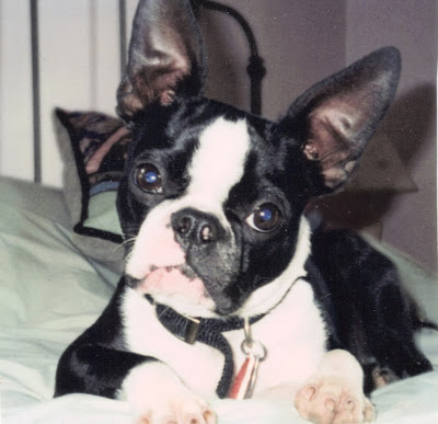 Seamus the Boston terrier before mandiculectomy
