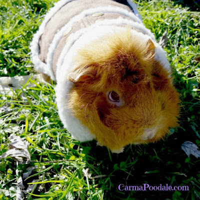 Guinea pig in a coat outside