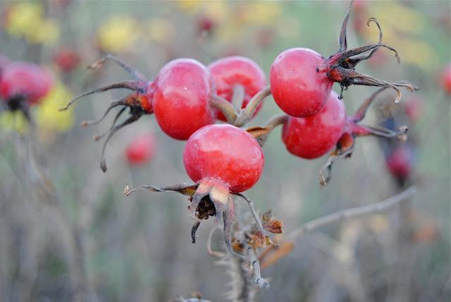 Rosehips Rosa rugosa