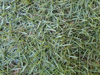 RUMPUT JEPANG | rumput peking