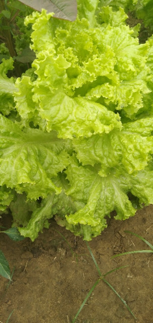 How to grow lettuce plant ?