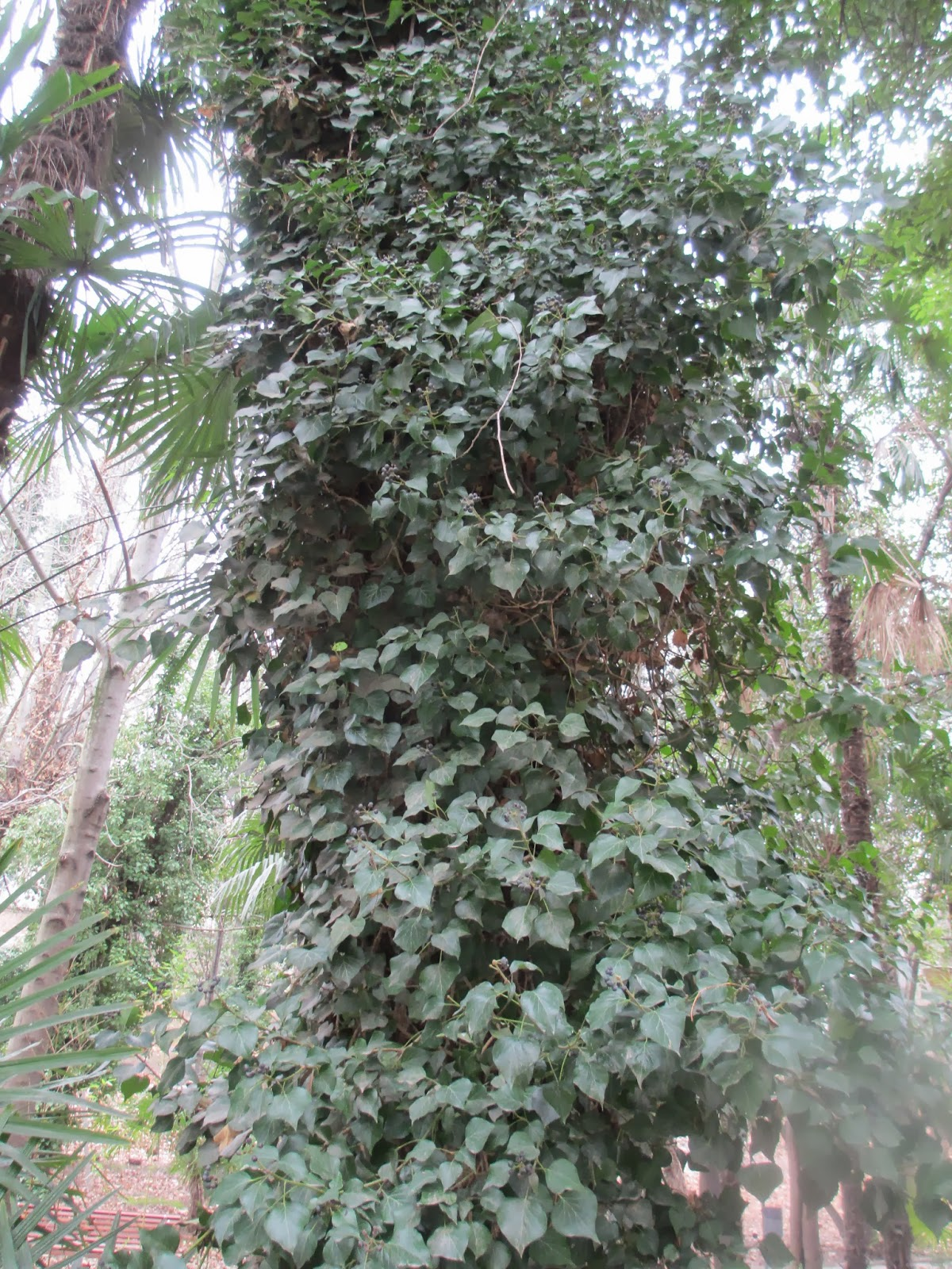 La mar de verde hedera helix o hiedra - Plantas para vallas ...