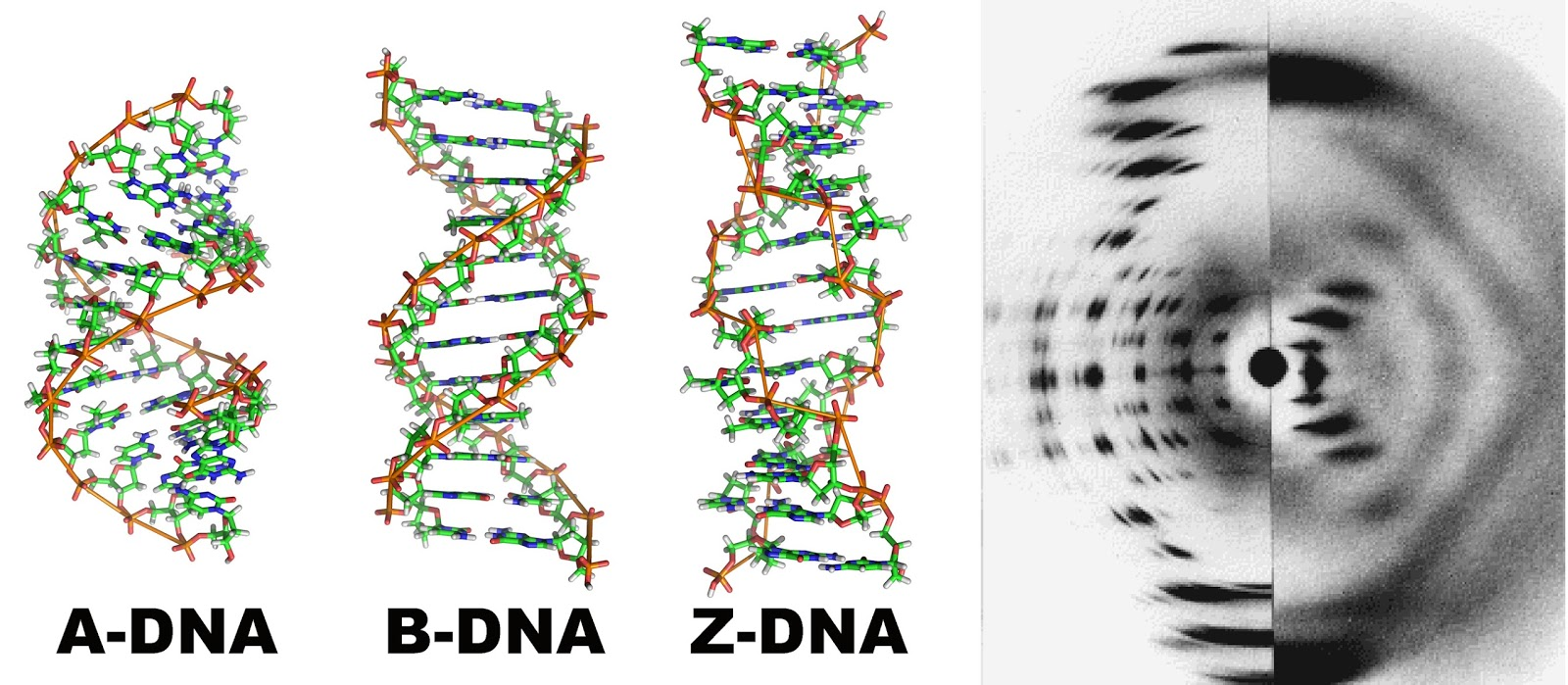 Modeling the Structure of DNA | 699x1600