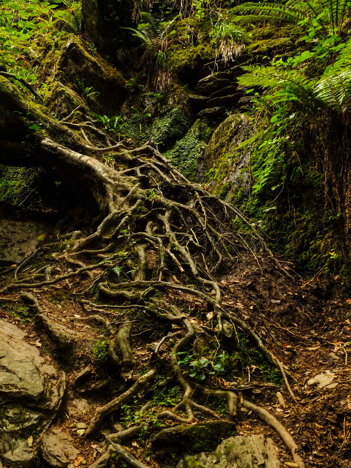 Twisted root ladder in the Mullinhassig Woods, County Cork.