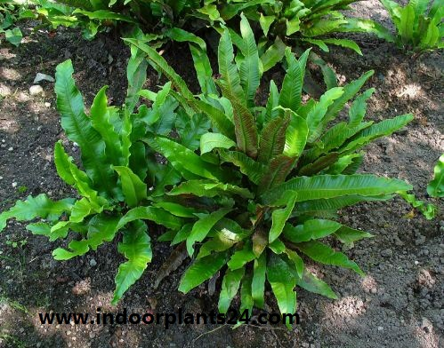 Asplenium nidus Aspleniaceae