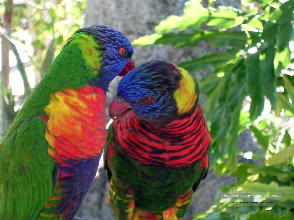 A Beautiful Couple Of Lorikeet Birds Wallpaper Hd: Unique Wallpaper: Colourful Birds