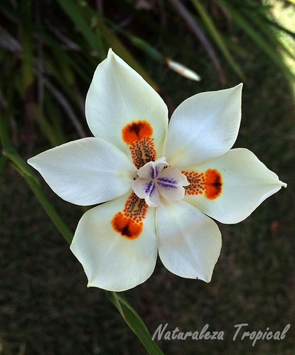 Flor del género Dietes