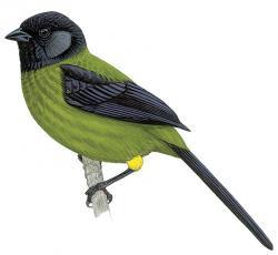 Yellow-green Finch