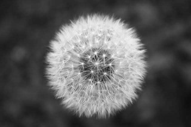 dandelion, putih,