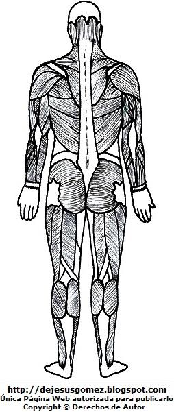 Músculos del cuerpo humano (Vista posterior) para colorear  pintar (Músculos de un hombre parte trasera) . Dibujos del músculo hecho por Jesus Gómez
