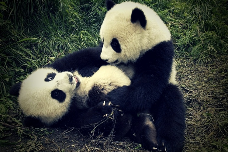 Scientific Info about Endangered Pandas for Kids and Adults ...