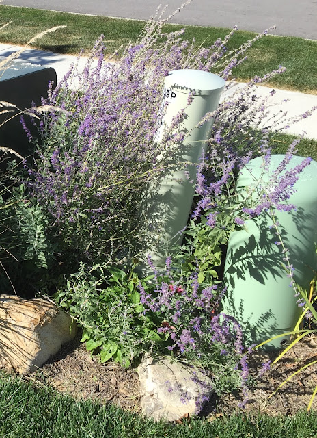russian sage october