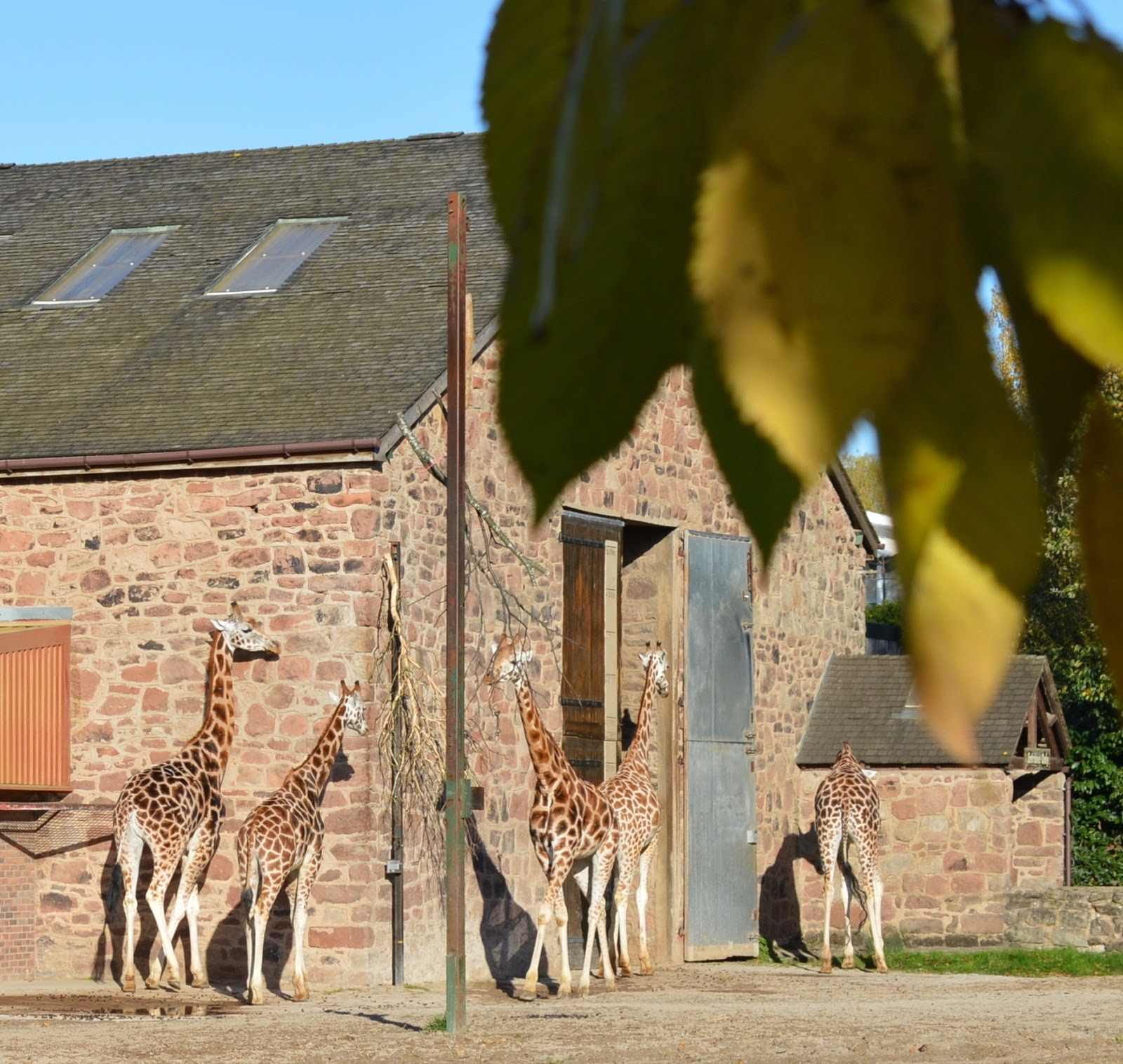 Tips for Visiting Chester Zoo from Newcastle  - giraffes