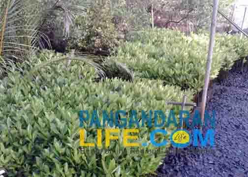 tanaman mangrove yang masih kecil