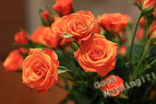 good morning with light orange rose