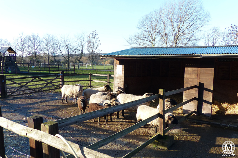 Sheep + Goats at Foxborough Farm, Hainault Forest Country Park
