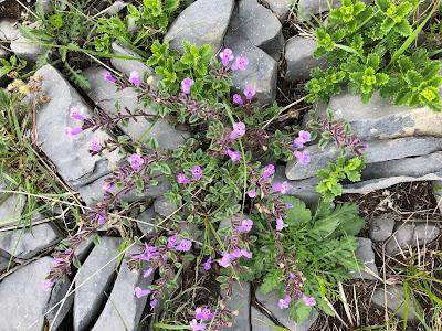 [Lamiaceae] Clinopodium alpinum – Alpine Calamint (Acino alpino, Santoreggia alpina)