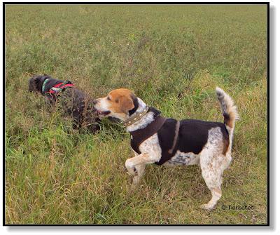 Beagle Emma mit ihrer Freundin Lotte