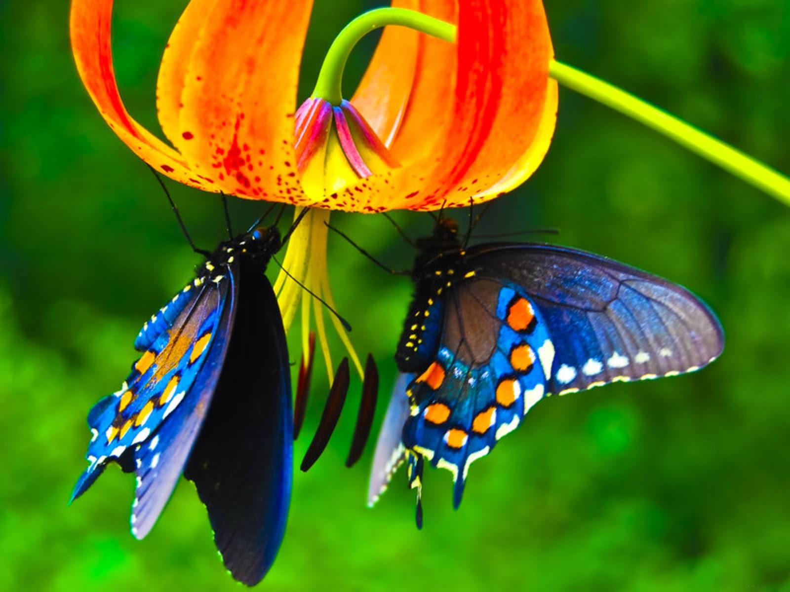 Raja-Priamos-Kupu-kupu
