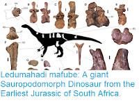 https://sciencythoughts.blogspot.com/2018/09/ledumahadi-mafube-giant-sauropodomorph.html