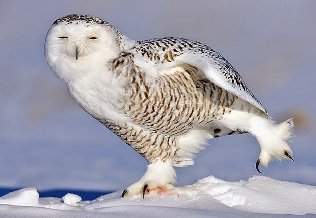 snowy owls pictures