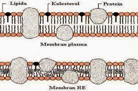 membran retikulum endoplasma