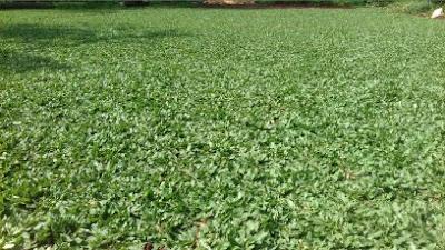 Jual Aneka Rumput Untuk Taman di Cikarang