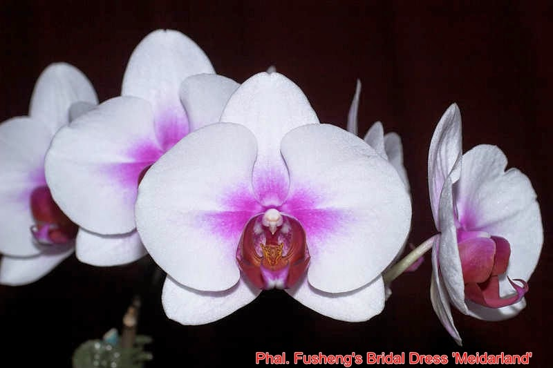 Phal. Fusheng's Bridal Dress 'Meidarland'
