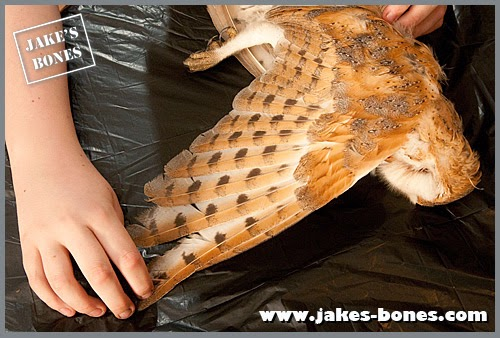 Up close with a (dead) barn owl : Jake's Bones