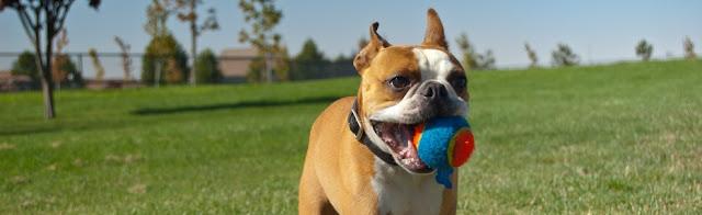 Adestre seu cão brincando