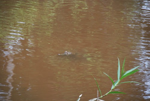 Caiman in Small Peruvian Amazon Lake peru