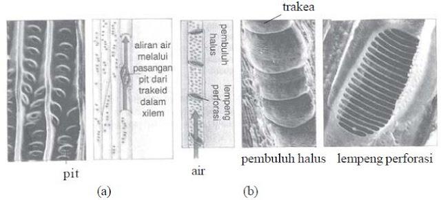 (a) Trakeid pada Pinus sp. dan (b) trakea otak (Quercus rubra)