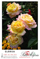 zuto roze bijela ruza glorija