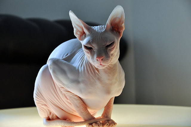 Photo of a cat Donskoy