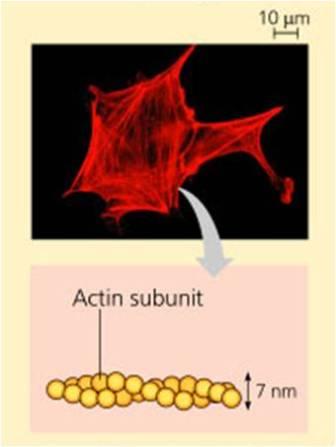 Cytoskeleton - Microfilaments, Intermediate filaments and ...
